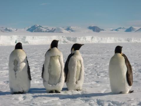 Emperor penguins molting