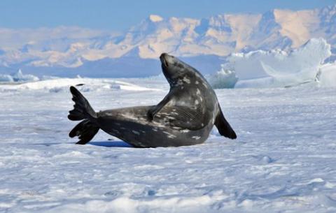 7 February 2012 Weddell Seal Flippers | PolarTREC