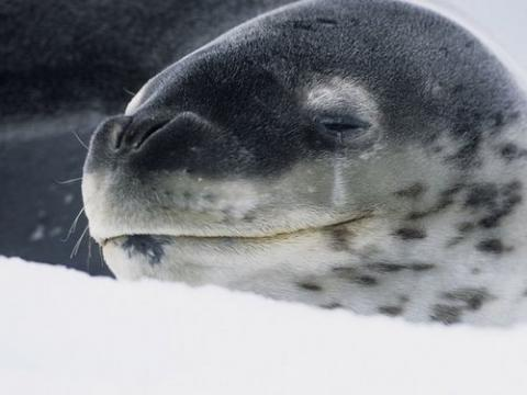 Close-up of Leopard seal