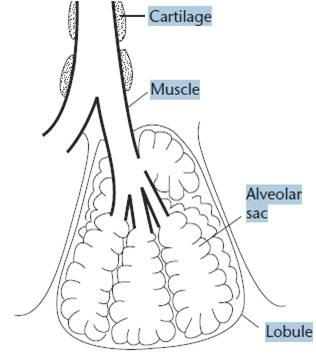 14 february 2012 weddell seal lungs polartrec diagram of a seals lung ccuart Gallery