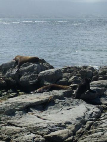 Sea Lions at Kaikoura