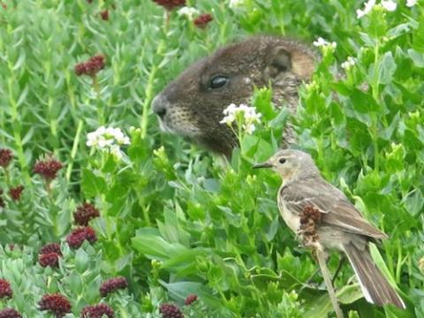 Marmot and Pipit