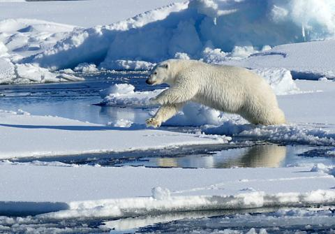 Leaping Polar Bear