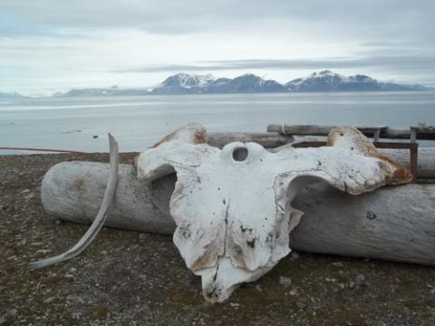 Whale bones along the Kapp Linne coast