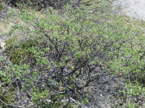 Salix Glauca (gray leaf willow)