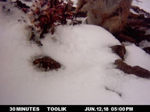 Ground Squirrel and Pedicularis
