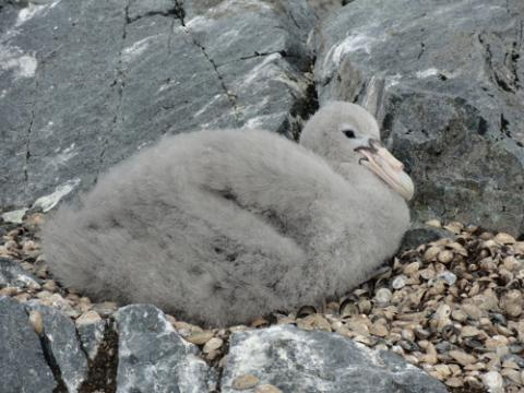 Giant Petrel Chick