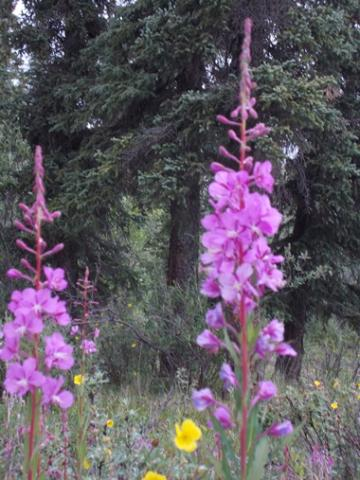 Alaskan Fireweed in bloom
