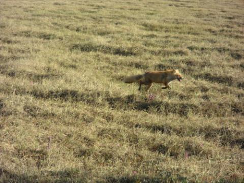 Red Fox in meadow near Galbraith Lake