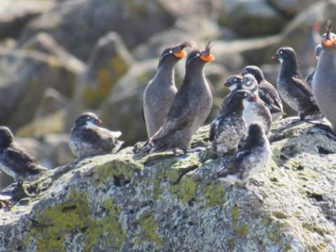 Crested and Least Auklets
