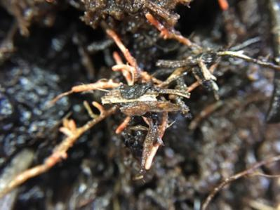 Deep roots with mycorrhizae. Photo by Nell Kemp.