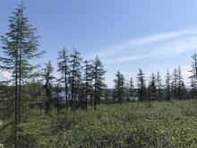 Larch Boreal Forest