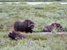 Muskox (Ovibos moschatus) with Calves
