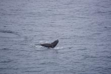 Humpback Whale fluke from the bridge of the Healy.