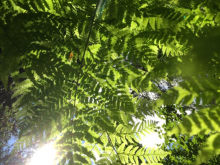 Sun through ferns