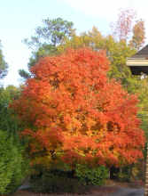 An image of a Maple tree with orange leaves surrounded by other trees with green leaves.