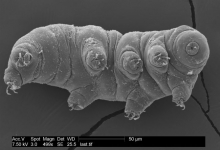 A tardigrade strikes a pose for the microscope. Image: © Byron Adams