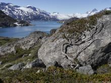 Dwarf Juniper Clings to Boulder above Skjoldungensund, Greenland