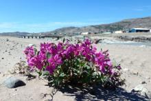 Flower in the Kangerlussuaq Sand