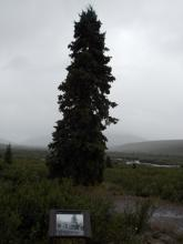 Current photo of the spruce tree and intrepretive sign