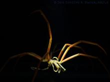 sea spider 1