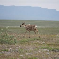 Caribou at Imnavait