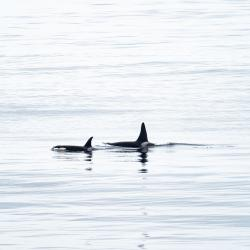 Orca whales from the Healy (Courtesy of Lindsey Leigh Graham)