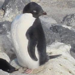 An Adelie Penguin in the colony at Cape Royds, Antarctica.