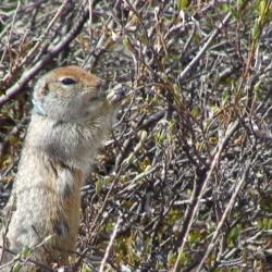 Ground squirrel eating buds