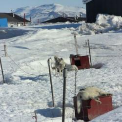 Very tired huskies at the Sirius Sledge Patrol in Daneborg, Greenland