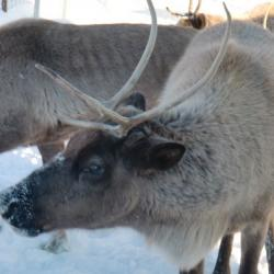 Reindeer at the UAF Reindeer Research Program