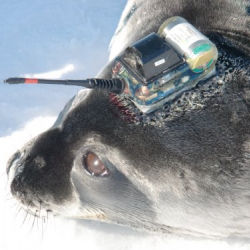 Weddell seal with satellite tag