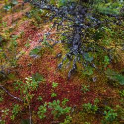 Black spruce sapling