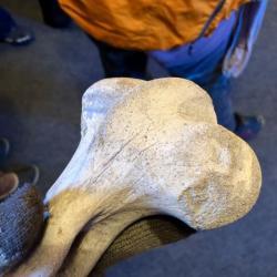 Woolly Mammoth Femur