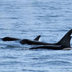 Orca Group 2