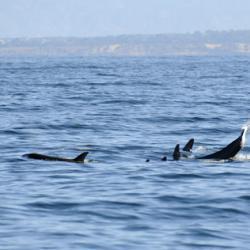 Orca Group 1