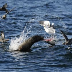 Sea Lion Thrashing Mola Mola