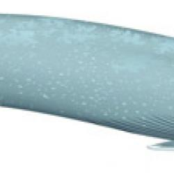 Blue Whale Reference Illustration