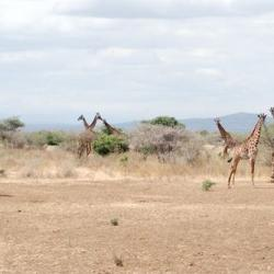 A group of giraffes enjoying the  African savannah.
