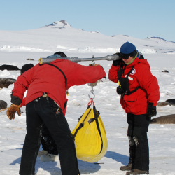 Weighing a Weddell seal pup