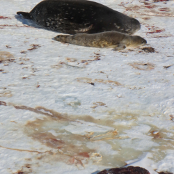 Placenta and Weddell seal mother with pup