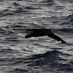 A Southern Antarctic Petrel