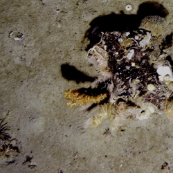 A single boulder teaming with sponges, bryozoan and brittle stars