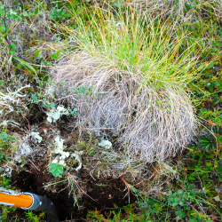 Digging up a tussock