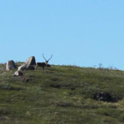 Caribou we saw