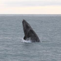 Gray whale breaching!  Photo courtesy of Dr. Kate Stafford. Photo taken September 10th, 2008.