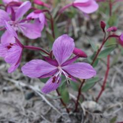 Niviarsiaq, the national flower of Greenland