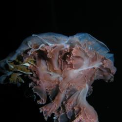 Jellyfish5