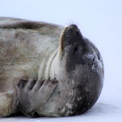 Sleeping seal 2