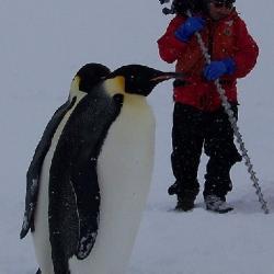 Power Auger Penguins